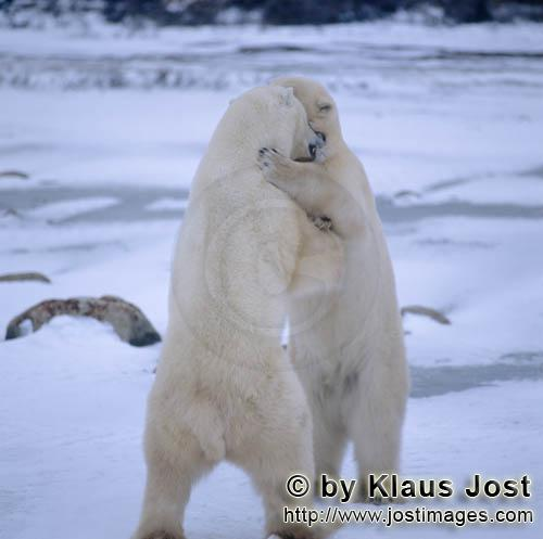 Polar Bear/Ursus maritimus        Fighting Polar Bears        The Polar Bear with the scienti