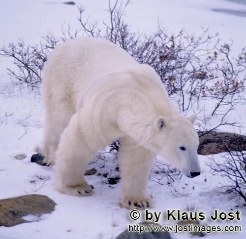 Polar Bear/Ursus maritimus        Polar Bear in the Hudson Bay        The Polar Bear with the