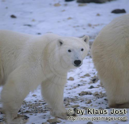 Eisbaer/Polar Bear/Ursus maritimus        Polar Bears in the Hudson Bay        The Polar Bear