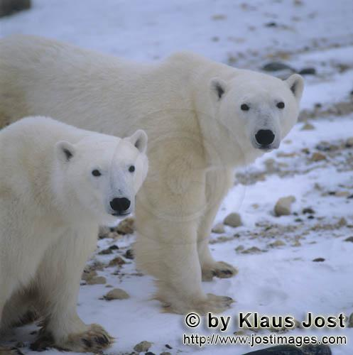 Polar Bear/Ursus maritimus        Eye to eye with two polar bears in the Hudson Bay        The Po