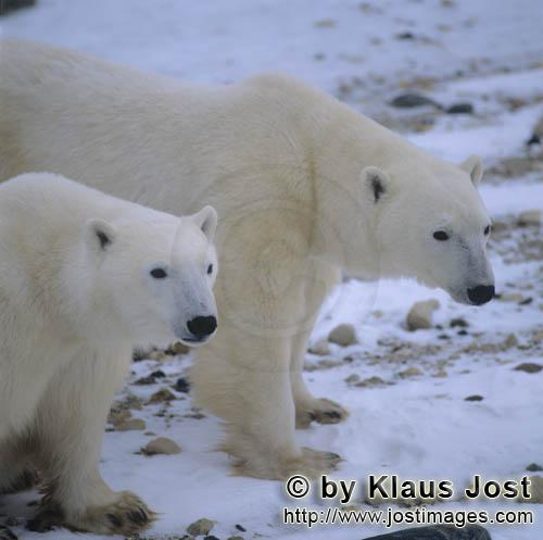 Polar Bear/Ursus maritimus        Two Polar Bears        The Polar Bear with the scientific n
