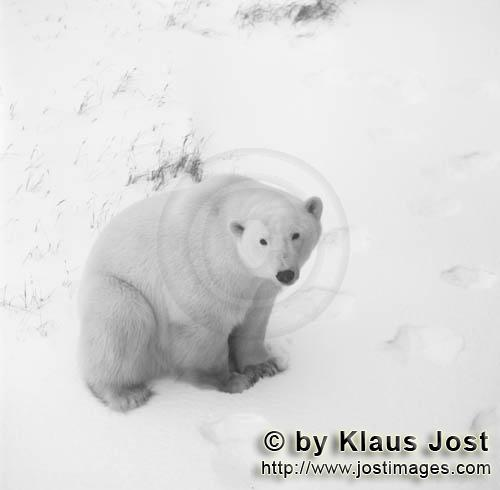 Polar Bear/Ursus maritimus        Polar Bear in the Tundra        The Polar Bear with the sci
