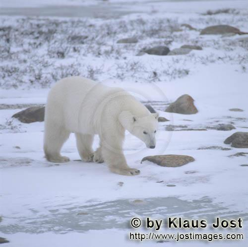 Polar Bear/Ursus maritimus        Polar bear in the cold desert        The Polar Bear with th