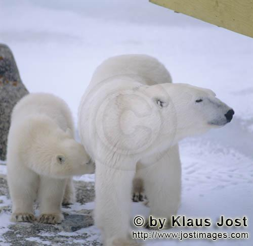 Polar Bear/Ursus maritimus        Polar Bear with young in the Hudson Bay        The Polar Bear</