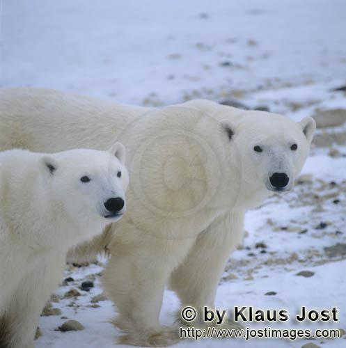 Polar Bear/Ursus maritimus        Polar Bears        The Polar Bear with the scientific name