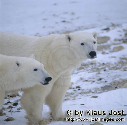 Polar Bear/Ursus maritimus        Polar Bears in the Hudson Bay        The Polar Bear with th