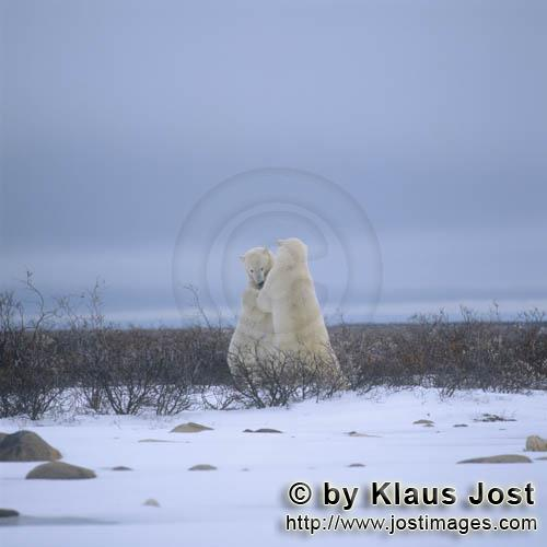 Eisbaer/Polar Bear/Ursus maritimus        Fighting Polar Bears in the Hudson Bay        The Polar
