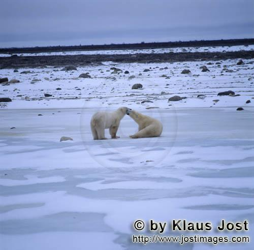 Eisbaer/Polar Bear/Ursus maritimus        Polar Bear in the Hudson Bay        The Polar Bear