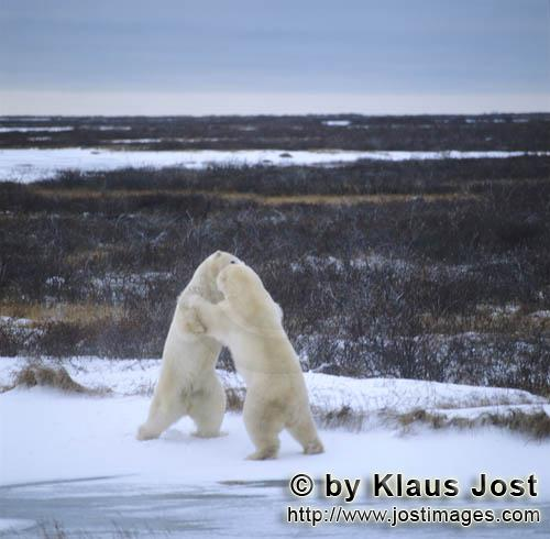 Eisbaer/Polar Bear/Ursus maritimus        Fighting Polar Bears        The Polar Bear with the