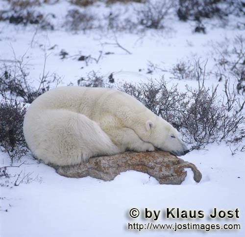 Eisbaer/Polar Bear/Ursus maritimus        Tired Polar bear on a rock at the Hudson Bay         The <