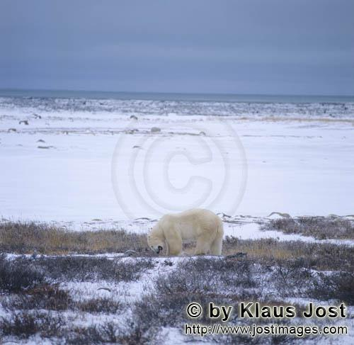 Polar Bear/Ursus maritimus        Polar bear on the coast         The Polar Bear with the sci