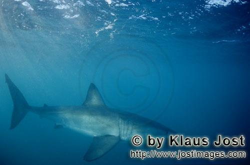 Great White Shark Enemies   Great White Shark Lord Of The Sea