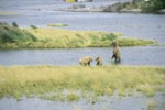 Brown bear familiy in the river