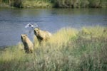 Mother Brown Bear and cub assess the situation