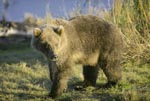 Well-fed Young Brown Bear