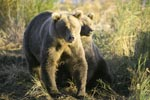 Two brown bears in the morning sun