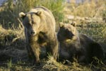 A conspecific approaches the two brown bears