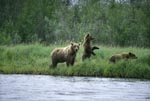 Brown Bear with Cubs on a salmon river