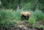 Brown Bear in the grass on the bank