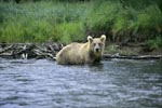 Brown bear begins salmon hunting in the river