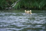 Brown Bear assessed the situation underwater