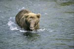 Brown bear sees a fish in shallow water