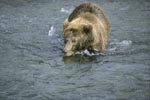 Laboriously a brown bear looking for salmon