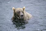 Brown Bear has surfaced without salmon