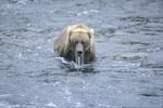 Brown bear after unsuccessful diving