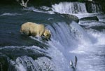 Highly concentrated brown bear at waterfall
