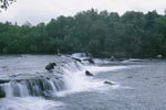 Brown bears on salmon hunt at the Brooks River falls