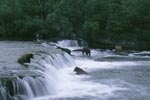 Brown Bears on the hunt for salmon