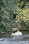 Brown bear on a stone in the river