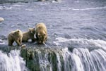 Mother Brown Bear with two cubs at waterfall
