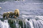 Mother brown bear with two cubs