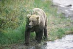 Brown Bear at a bend in the river