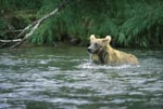 Brown bear is dipped for a salmon