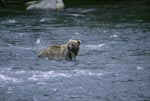 Brown bear in river looking for banks