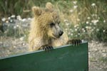 Curious Brown Bear cub
