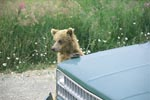 Brown Bear cub is supported on the car