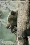 Little Brown Bear in security on the tree