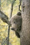 Little Brown Bear assesses the situation from the tree