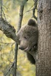 The little brown bear looking curiously from the tree