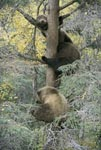 Three little brown bear look from the tree