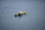 She-bear with spring cub in the river
