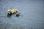 Sow with her spring cub in the river