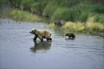 Sow with her cub Mother in the river