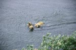 Sow with her cubs crosses River
