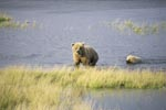 Sow with her cub going ashore