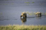 Sow with her cub fishing for salmon